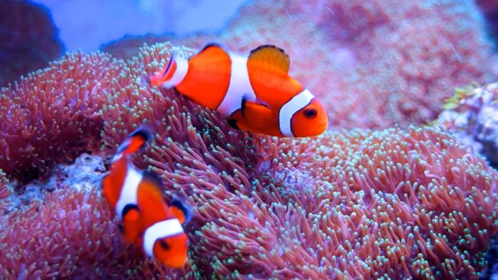 Fantastiska ocellaris clownfisk är en av flera miljoner arter som lever i och runt världens korallrev