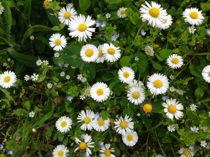 vilda blommor