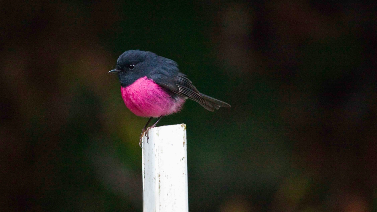 pink_robin2.jpg