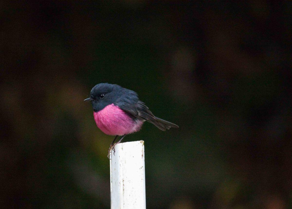 pink_robin