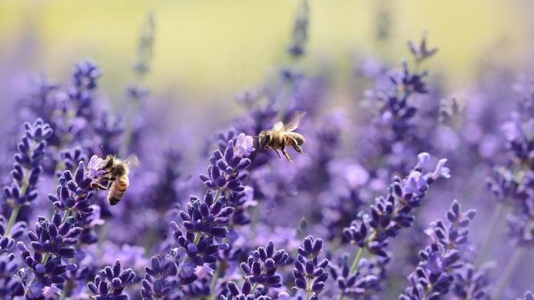 gronamoment.se lavendel pollinatörer