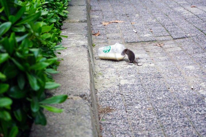 plastskräp råtta starbucks