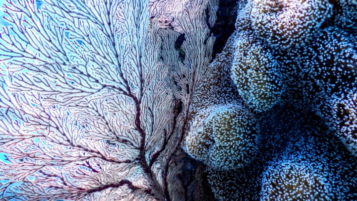 Korallet havsanemoner