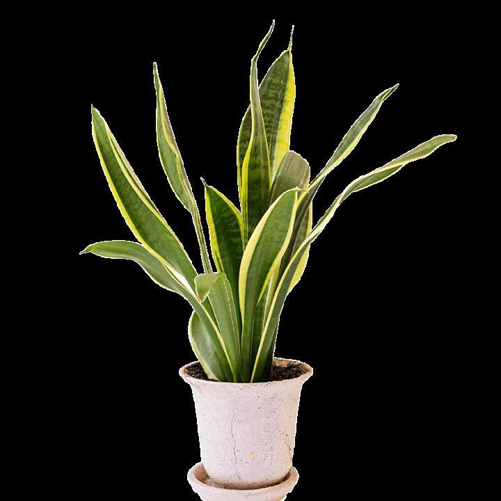 Växter inomhus luftkvalitet formaldehyd